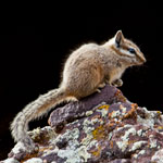 Cliff Chipmunk