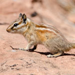 Hopi Chipmunk