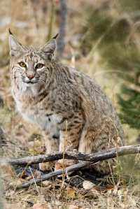 Bobcat in Colorado.