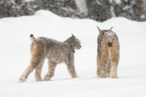 A Pair of Canada Lynx in Colorado
