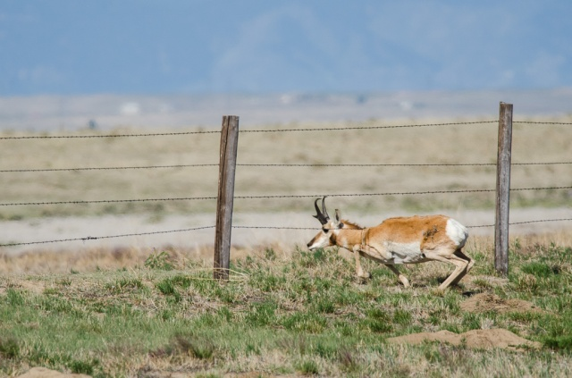 Pronghorn Crawling Under Barbed Wire