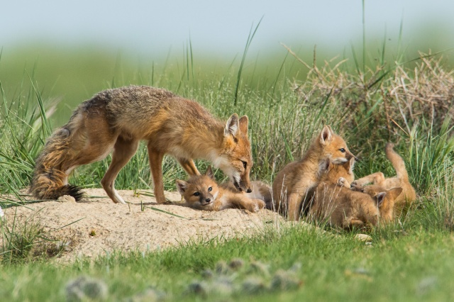 Swift Foxes at Pawnee National Grassland