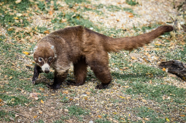 White-nosed Coati