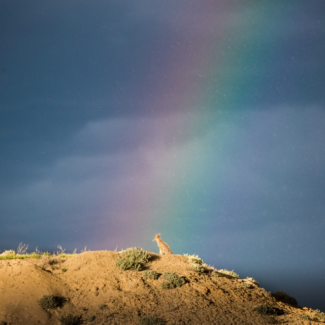 Kit Fox Rainbow