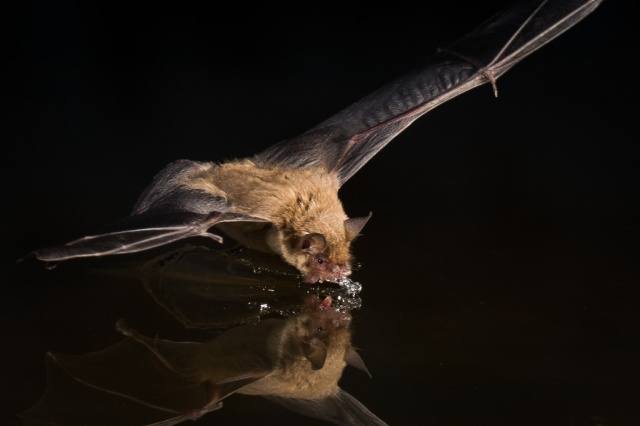 Bat in Flight Drinking Water