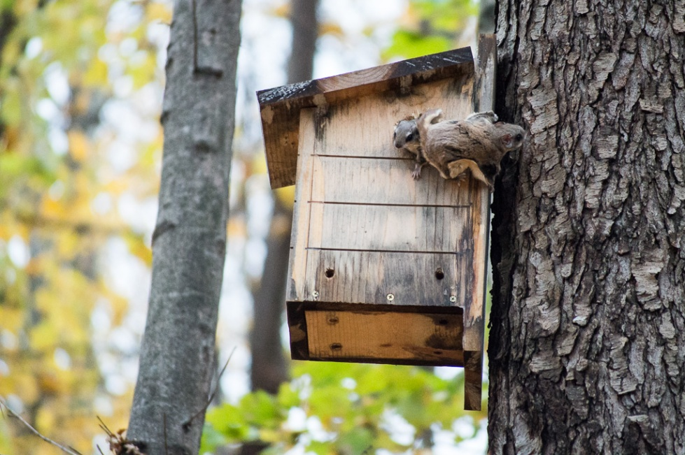 Two southern flying squirrels and their nest box in the Lower Peninsula of Michigan